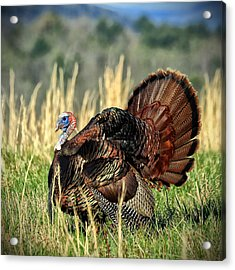 Tom Turkey Acrylic Print by Jaki Miller