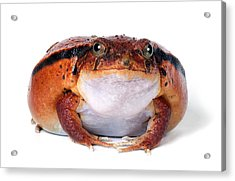 Tomato Frog Acrylic Print by Robert Jensen