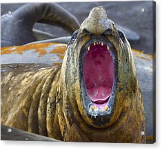 Tonsils And Trunks Acrylic Print by Tony Beck