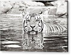 Top Cat -bw Acrylic Print