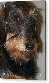 Top Dog Wirehaired Dachshund In Wooster Ohio Acrylic Print by  Andrea Lazar