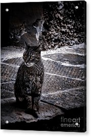 Tortishell Cat Acrylic Print by Karen Lewis