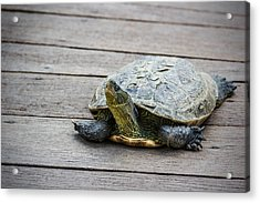 Tortoise On A Wooden Bridge Acrylic Print