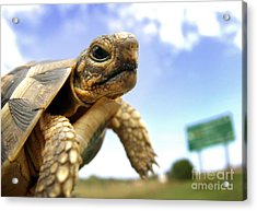 Tortoise On Roadside Acrylic Print