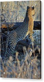 Total Attention Acrylic Print by Allan McConnell