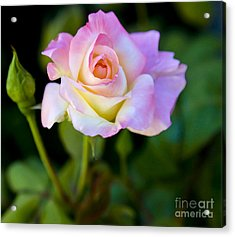 Rose-touch Me Softly Acrylic Print by David Millenheft