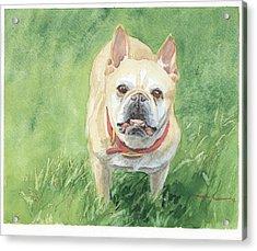 Tough Little Dog Watercolor Portrait Acrylic Print by Mike Theuer