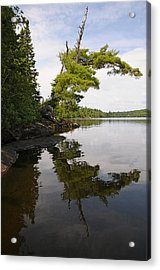 Tough Old Pine Acrylic Print by Sandra Updyke