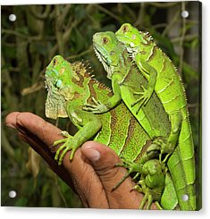 Tourist With Juvenile Green Iguanas Acrylic Print