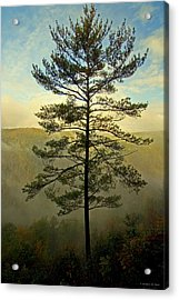 Acrylic Print featuring the photograph Towering Pine by Suzanne Stout
