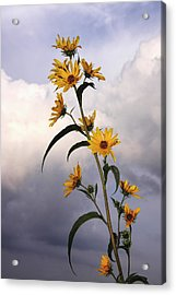 Acrylic Print featuring the photograph Towering Sunflowers by Rob Graham