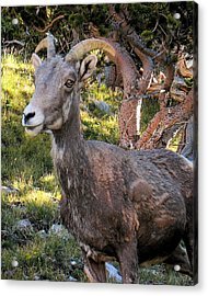 Trail-side Visitor Acrylic Print