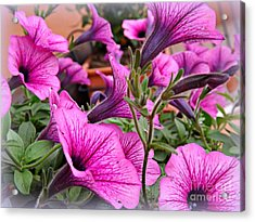 Trailing Petunias Acrylic Print by Clare Bevan