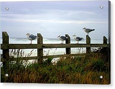 Trained Gulls Acrylic Print by John  Greaves
