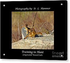 Training To Hunt Acrylic Print by Dennis Hammer