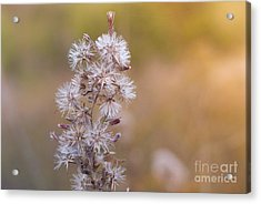 Transition 3 Acrylic Print by Barbara Shallue