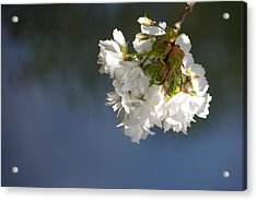 Acrylic Print featuring the photograph Tree Blossoms by Marilyn Wilson