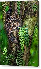 Tree Boa On A Tree, Sarapiqui, Costa Acrylic Print