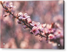 Tree Branch Bloom Acrylic Print
