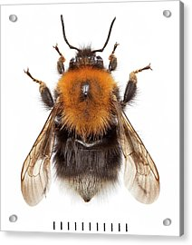 Tree Bumblebee Acrylic Print by Natural History Museum, London