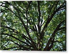 Tree Canopy Sunburst Acrylic Print