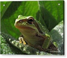 Tree Frog Acrylic Print by Inge Riis McDonald