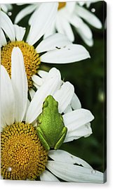 Tree Frog Rests On A Daisy  Astoria Acrylic Print by Robert L. Potts