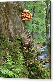 Tree Fungus - Chicken Of The Woods Acrylic Print