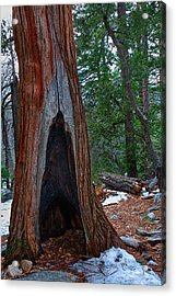 Tree Hollow Acrylic Print by Peter Tellone