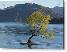 Tree In Lake Wanaka Acrylic Print