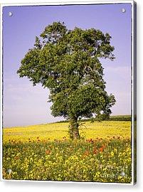Tree In Rape Field No3 Acrylic Print by George Hodlin