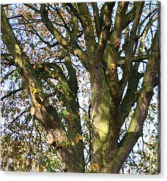 Tree In Sunlight Acrylic Print