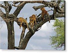 Tree Lions Acrylic Print by Tony Murtagh