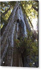 Tree Of Mystery #1 Acrylic Print by Rick Starbuck