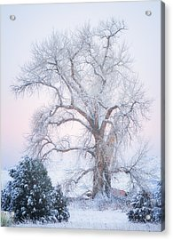 Tree Of Snow Acrylic Print by Darren  White