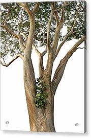 Tree On White - Albizia Niopoides And Epiphyte Acrylic Print