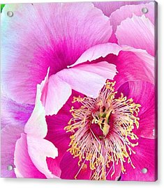 Tree Peony....what An Amazing Flower Acrylic Print