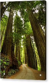Tree Redwood Ca 3 Acrylic Print by John Brueske