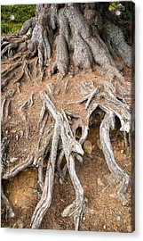 Tree Root Acrylic Print