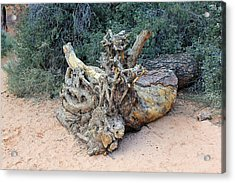 Tree Stump Acrylic Print
