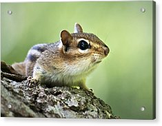 Tree Surfing Chipmunk Acrylic Print by Christina Rollo