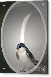 Acrylic Print featuring the photograph Tree Swallow by Anita Oakley