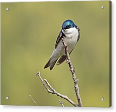 Tree Swallow Acrylic Print by Brian Magnier