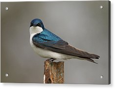 Tree Swallow In Mating Colors Acrylic Print by Doug Underwood