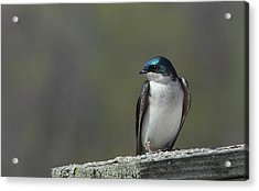 Tree Swallow  Acrylic Print by James Hammen