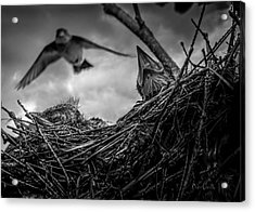 Tree Swallows In Nest Acrylic Print by Bob Orsillo