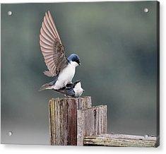 Tree Swallows Mating 3 Acrylic Print by Jai Johnson