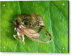 Treehopper Acrylic Print by Philippe Psaila/science Photo Library