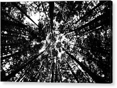 Trees Above Me Acrylic Print by Daniel Woodrum