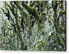 Trees Covered With Moss And Frost, New Acrylic Print by Matteo Colombo
